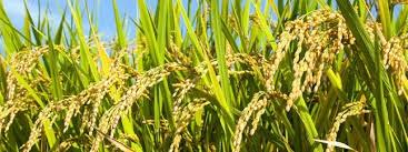 agronomico