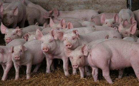 beneficio carne cerdo