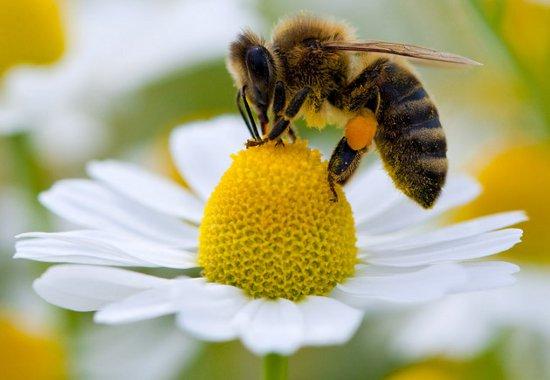 abeja miel apicola