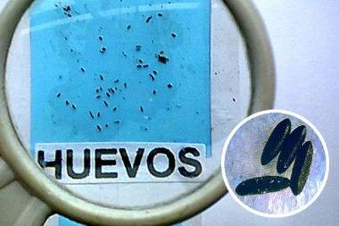 aedes aegypti dengue