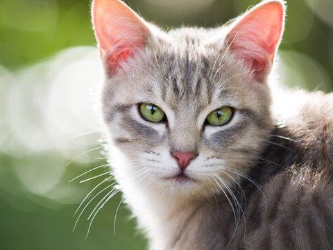 brucelosis gato